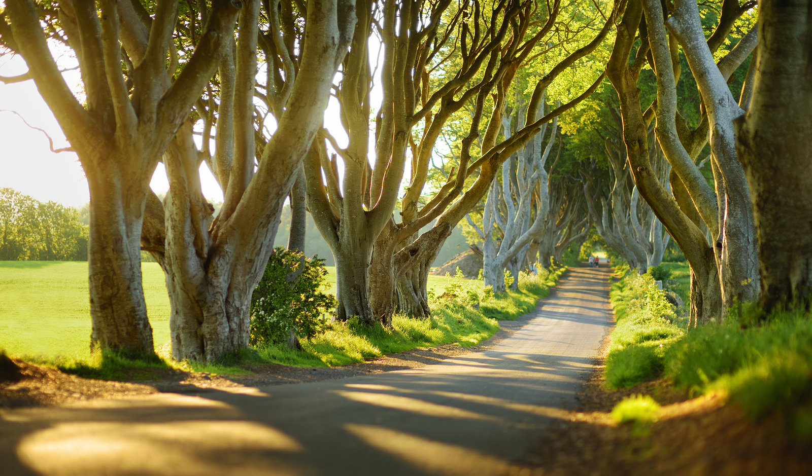 The Dark Hedges, An Avenue Of Beech Trees Along Bregagh Road In
